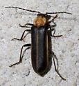 Soldier beetle - Podabrus flavicollis