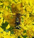 Bee Wolf - Philanthus