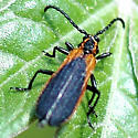 Elytroleptus floridanus
