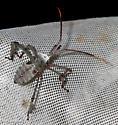 Acanthocephala declivis