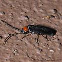 Beetle 03.28.2009 006 - Silis