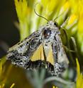 Unknown Moth - Pseudanarta crocea