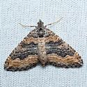 moth ID? - Perizoma custodiata