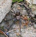 Hobo/Recluse(?) Spider - Eratigena atrica