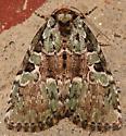 marbled-green leuconycta - Leuconycta lepidula
