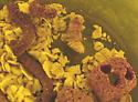 *Not* 4Uloma pupa - Centronopus calcaratus