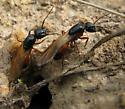 Camponotus mating flight (March) - Camponotus semitestaceus - female