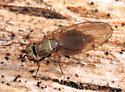 fly - Sapromyza brachysoma