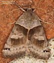 Caenurgina crassiuscula ? - Caenurgina crassiuscula