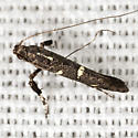 Leaf Blotch Miner Moth - Hodges #0644.1 - Caloptilia triadicae