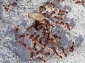 Ant ID - Pogonomyrmex badius