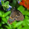 spicebush swallowtail - Papilio troilus