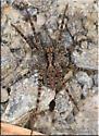 Spider sp - Pardosa