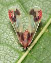Derbid Planthopper - Anotia uhleri