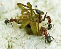 Lunch Break - Camponotus planatus