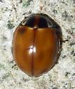 Lady Beetle - Myzia pullata