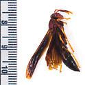 Wasp vs robber fly - Polistes annularis - female