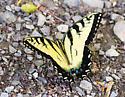 swallowtail - Papilio glaucus