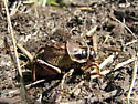 Cyphoderris buckelli - male