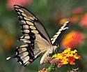 Eastern Giant Swallowtail - Papilio cresphontes