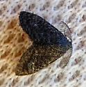 Planthopper parasite moth - Fulgoraecia exigua