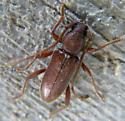 August Long-horned Beetle - Anelaphus moestus
