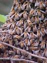 Honey Bee Swarm - Apis mellifera