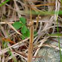 Mantid - Tenodera sinensis