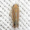 Leafhopper - Deltanus texanus