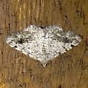 Hodges#6385 - Digrammia triviata - male