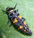 Hippodamia convergens larva?