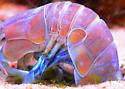 Mantis shrimp, Take 2