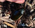 Predaceous Diving Beetle - Cybister fimbriolatus