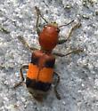 Beetle [=Enoclerus ichneumoneus?] ID Request  - Enoclerus ichneumoneus