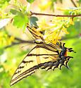 Papilio multicaudatus --? - Papilio multicaudata