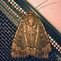 Copper Underwing - Hodges #9638 (Amphipyra pyramidoides) - Amphipyra pyramidoides
