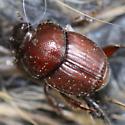 Hirsute carrion scarabaeinae - Onthophagus
