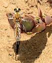 robber fly 2 - female