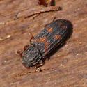 Cylindrical bark beetle - Bitoma quadriguttata