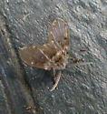 Family Psychodidae?...maybe Clogmia albipunctata?