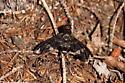 Bombyliidae - Exoprosopa decora