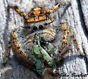 Jumping Spider - Phidippus carolinensis - female