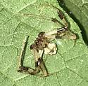 Male spider ID help - Verrucosa arenata - male