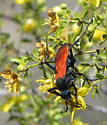 Tarantula hawk on creosote - Pepsis chrysothemis - female
