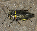 First CA post of Gyascutus caelatus? (Not!) - Gyascutus fulgidus - male