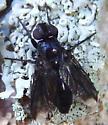 black fly - Melanophora roralis - female