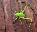 Cricket or Katydid - Amblycorypha