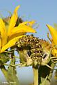 Unknown Caterpillar - Stiria rugifrons