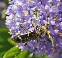 long-horned beetle - Phymatodes nitidus