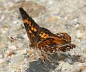 Harris's Checkerspot - Chlosyne harrisii - male
